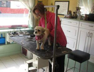 A small dog standing still for the final touches of his trim