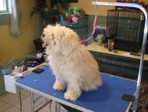 Very furry dog about to get a big trim