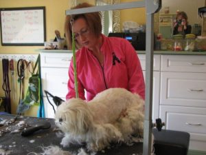 Shaving the small dog for a cleaner look