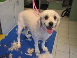 A summer shave for a cute dog