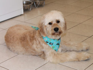 A beautifully groomed labradoodle with a bandanna