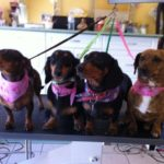 Four daschunds ready for their grooming appointment