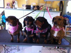 Four weiner dogs just had a bath